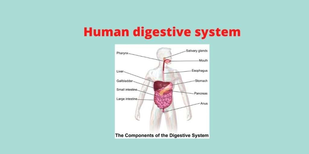 digestive system with diagram